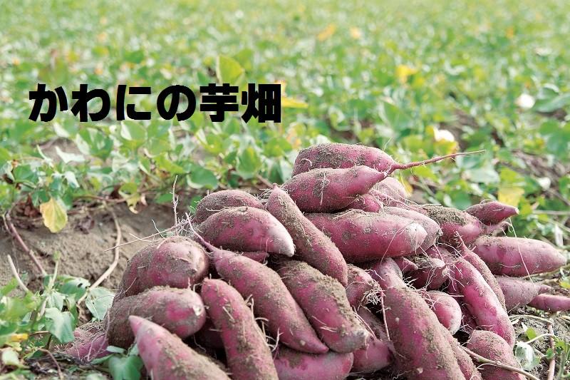 かわにの芋畑
